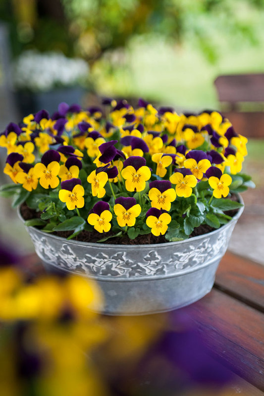 Našlaiės gražios, dekoratyvios ir nereiklios gėlytės.