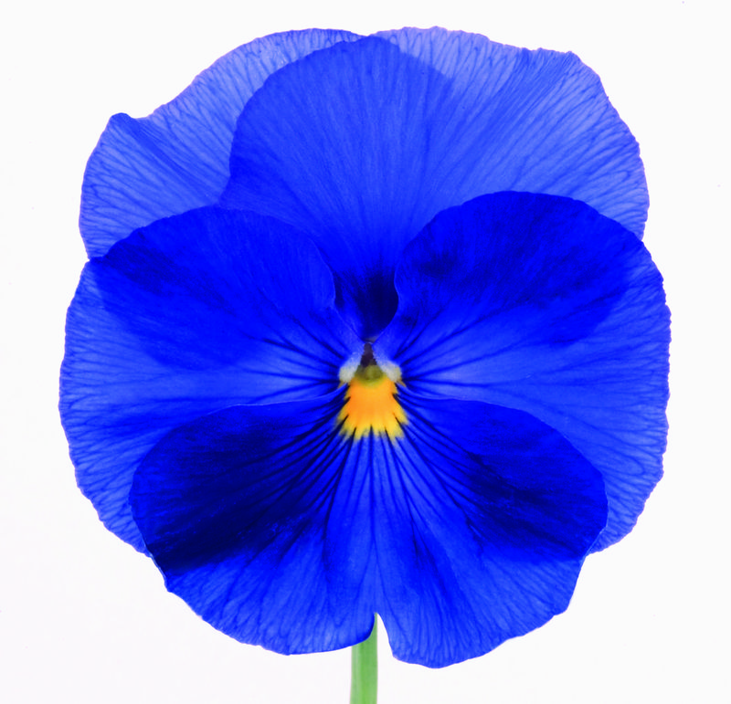 Viola wittrockiana Inspire 'True Blue'.