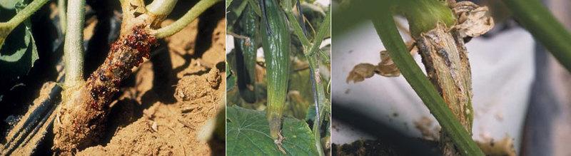 Agurkų askochitozės pažeisti stiebai ir vaisiai